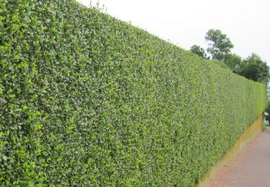 hedge-cutting-maintenance-paddington